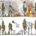 Heat is transferred to living tissues of trees during fire (top panel), resulting in injuries to different parts of trees after fire (bottom panel). Graphics by R. Van Pelt.