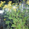 Common tansy (USFS photo)