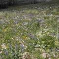 A photo showing tall forbs on the Great Basin Experimental Range. Several types of flowers (mostly blue and white) are shown in a small section of grassy land.