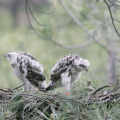 Northern goshawk nestlings
