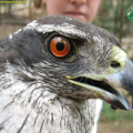 Northern goshawk is a sensitive species that lives in frequent-fire forests.