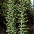 Western white pine is so named for the light color of its wood. The timber was used for everything from window and door frames to shelving, paneling, and furniture. Photo by Susan McDougall, USDA-NRCS Plants Database.