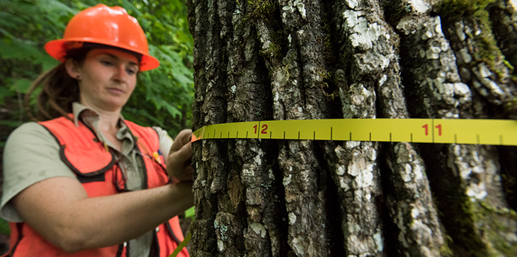 A picture of a forest worker, wearing  hard hat, measuring the diameter of a large tree