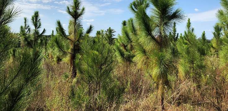 A picture of several pine tree seedlings in a field area.