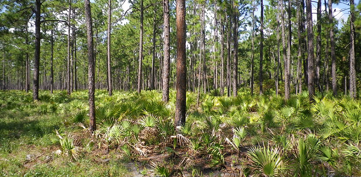 A picture of a fuel treatment area in the Accelerating Longleaf Pine Ecosystem Restoration Project in the Osceola National Forest, Florida.