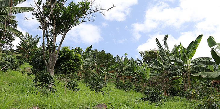 View of a coffee plantation. Each coffee plant is overshadowed by a bigger tree or plant.