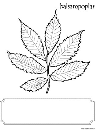 An illustration of Balsam Poplar leaf