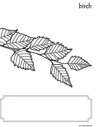 An illustration of Birch leaf