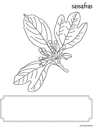 An illustration of Sassafras leaf