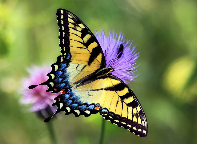 a close up photo of a butterfly with striking black, yellow, blue and orange markings on top of purple flowers