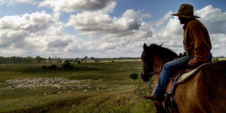A picture of a herder, on a horse, watching over a flock of grazing sheep on the Sheyenne National Grassland in North Dakota