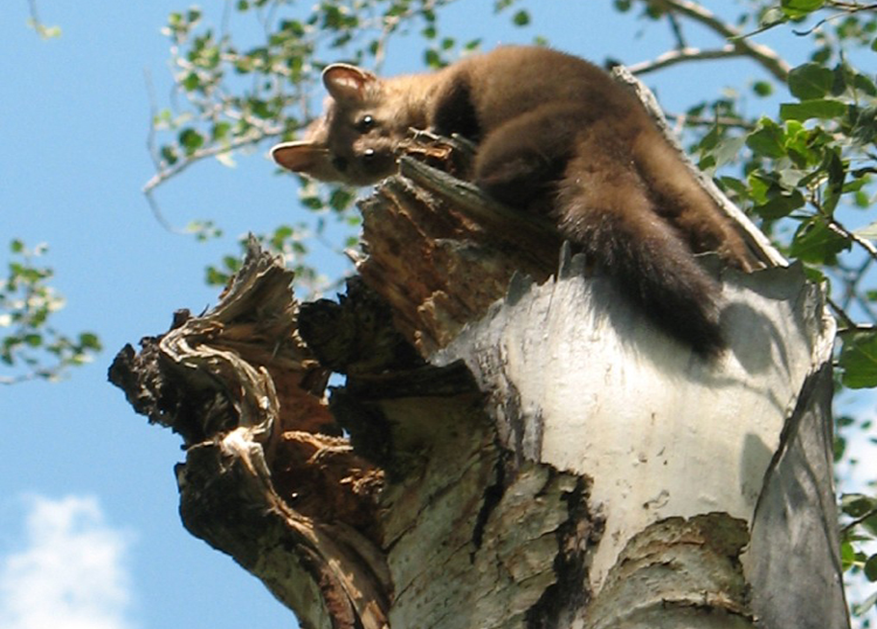 A photo of a Marten looking down from a tree