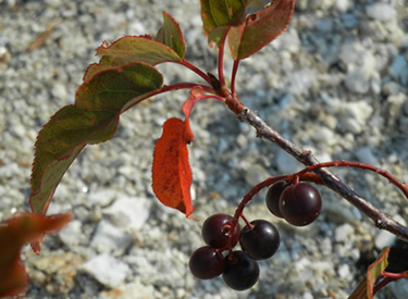 Chokecherry fruits and fall foliage decorate the landscape on the Boise National Forest