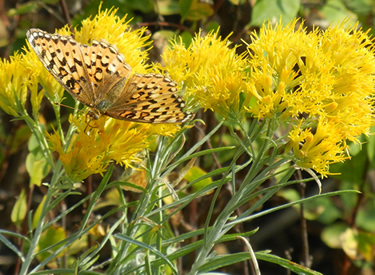A fritillary butterfly visits green rabbitbrush flowers on fields in the Boise National Forest