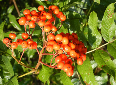 Mountain ash berries, especially showy in September and October, are found across the Boise National Forest.