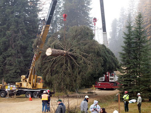 capitol christmas tree harvest