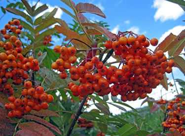 Greene's mountain ash (Sorbus scopulina) abound in the Island Park area on the Caribou-Targhee National Forest, as shown in this September 2010 photo. (U.S. Forest Service)