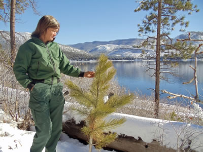 A photo of a forest service ranger standing next to a ponderosa pine seedling