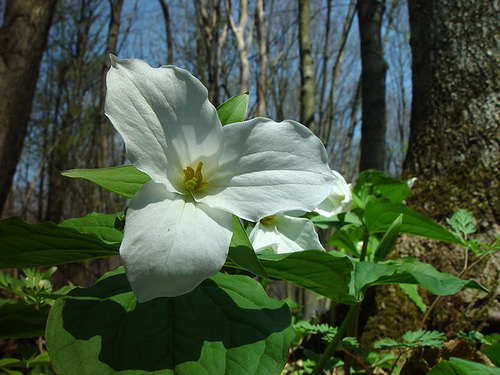 A photo of a Trillium, Trilliums prefer the filtered light of a maturing forest.