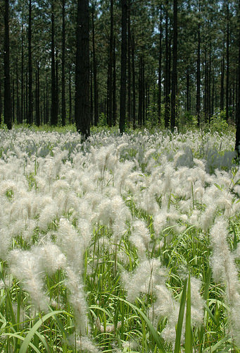 A photo of Flowering cogongrass invading a southern pine forest.