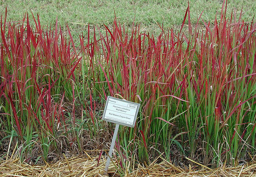 A photo of cogongrass Red Baron variety.