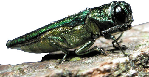 A photo of The emerald ash borer is a non-native, wood-boring insect.
