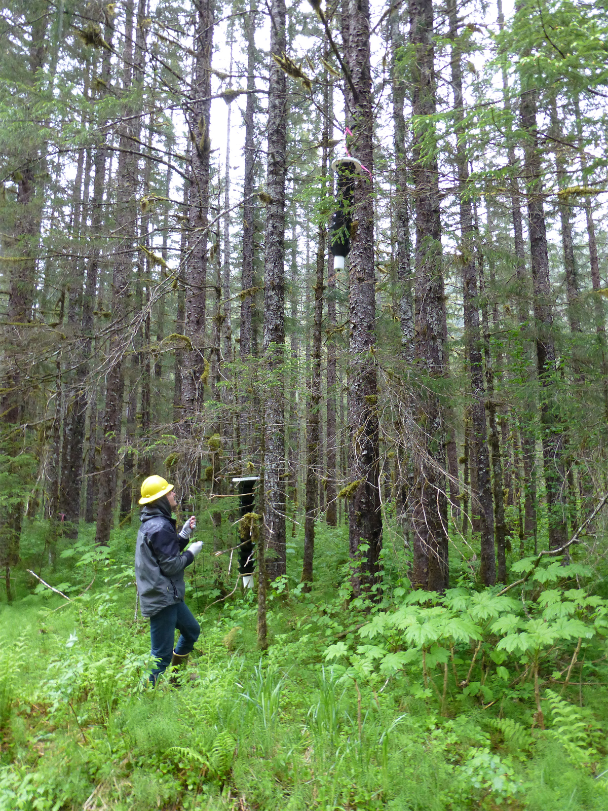A student lowering a Lindgren multi-funnel trap to lure longhorned beetles from the mid-canopy in the Tongass National Forest.