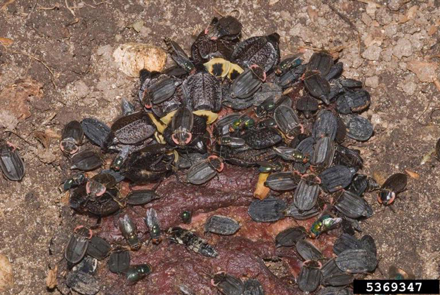 A picture of a large group of carrion beetles.