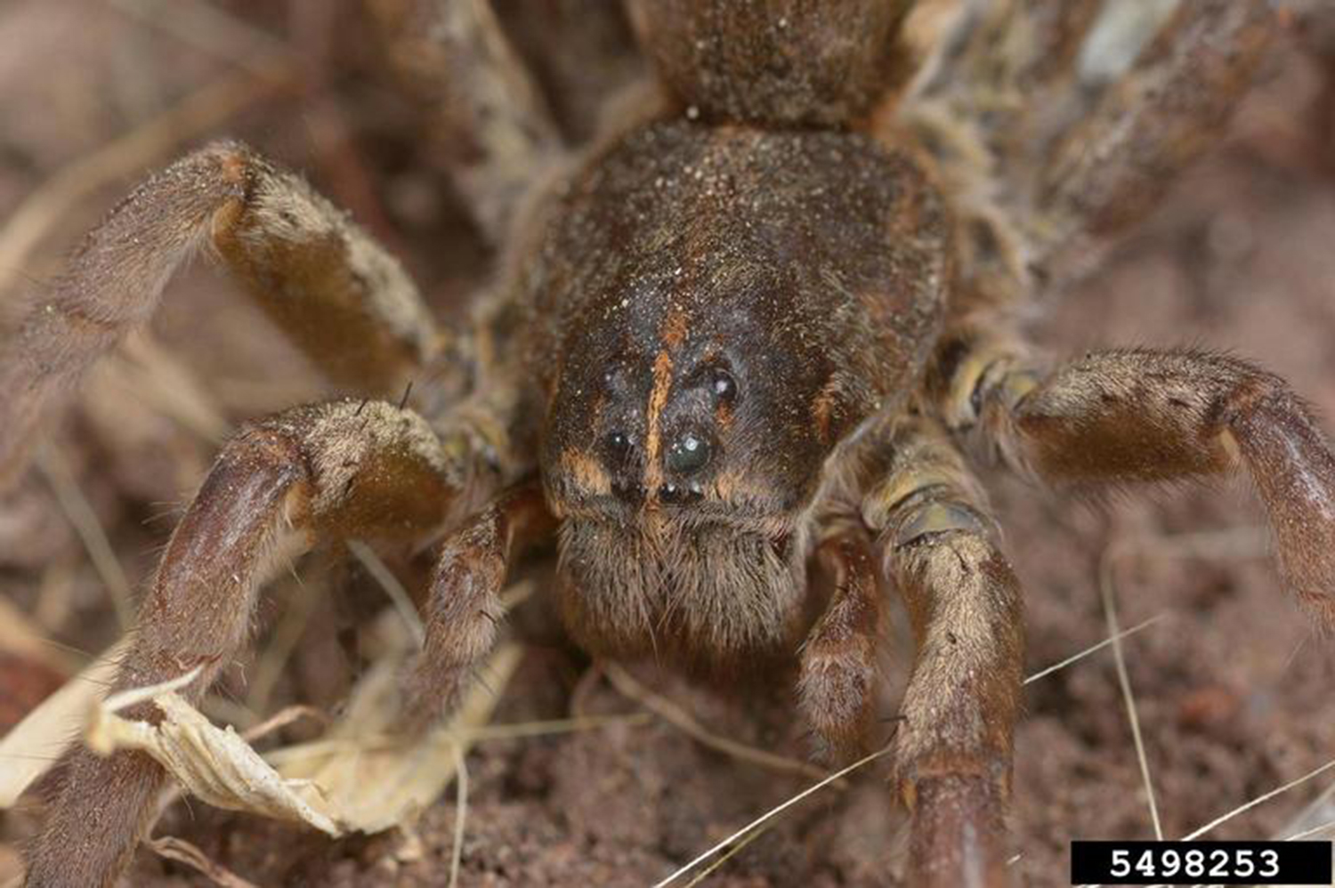 A picture of a wolf spider.