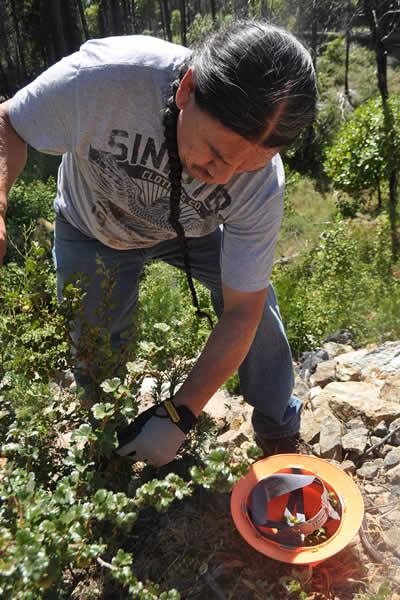 A photo of Ron Reed of the Karuk Food Crew collecting gooseberries