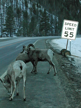 A photo of Bighorn Sheep licking salt off the side of a road.