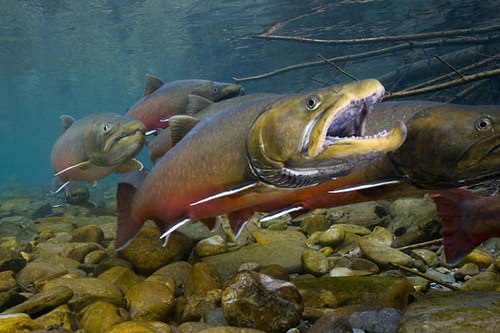 A Bull trout swims in a stream.