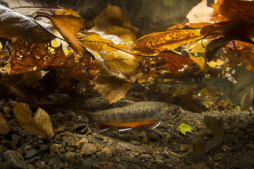 Southern Appalachian Brook Trout spawn