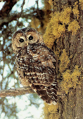 Research highlights the challenge of meeting multiple forest management objectives, such as reducing wildfire risk while maintaining habitat for sensitive species like the California spotted owl. (Photo by John S. Senser, U.S. Forest Service)