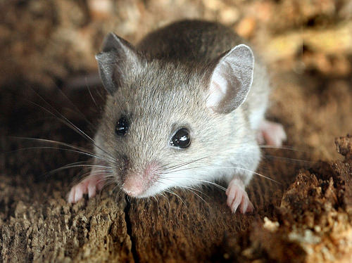 Deer mice and chipmunks were among the dominant small mammals in the study area and were mostly unaffected by the fuel reduction treatments. (Photo by David Cappaert, Michigan State University, Bugwood.org)