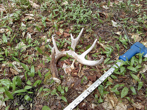 A photo of a shed antler in the Pennsylvania spring woods - evidence that white-tailed deer overwintered in this area.