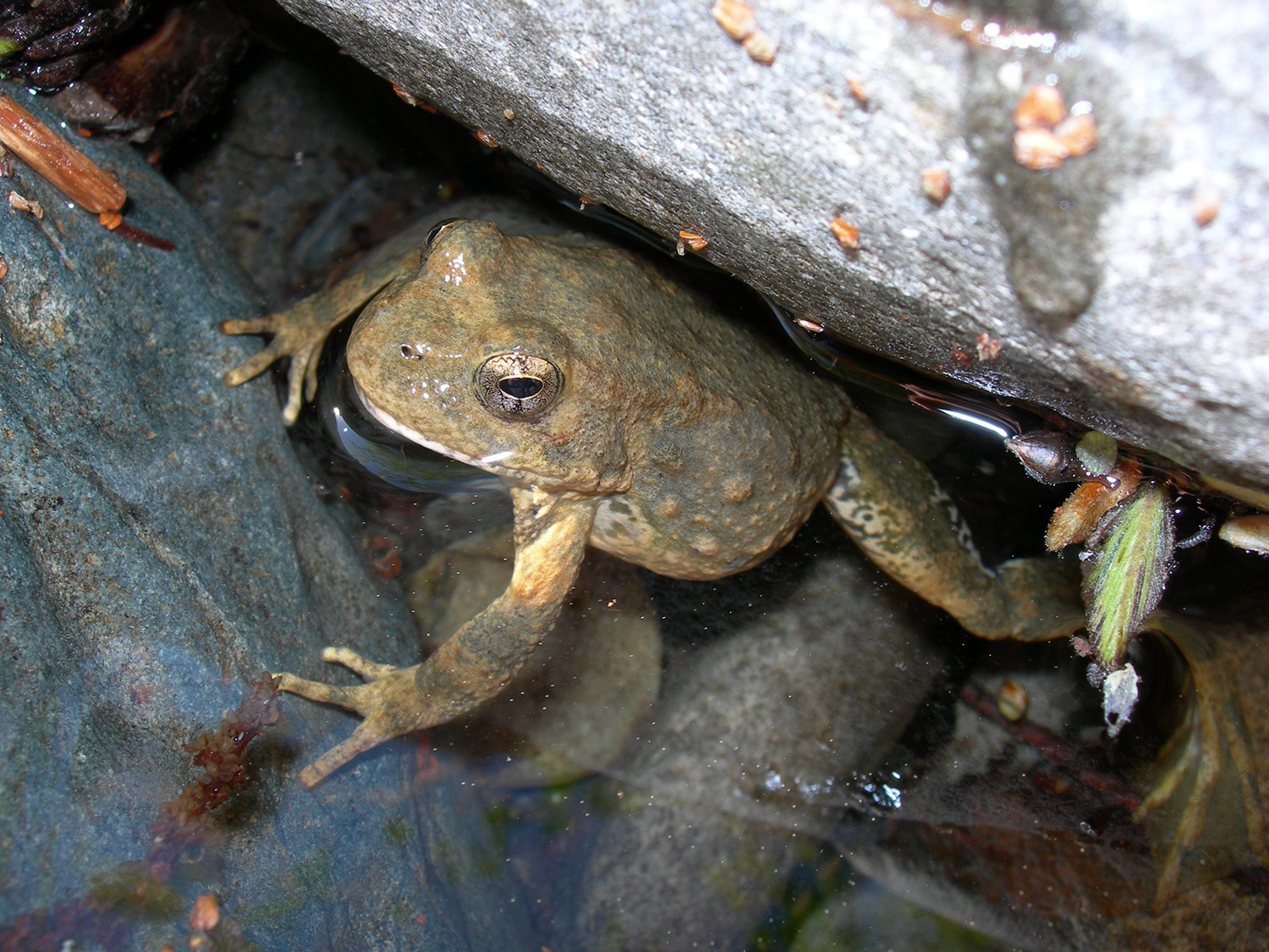 The foothill yellow-legged frog breeds exclusively in streams and prefers warm stream edges. Photo by Amy Lind, U.S. Forest Service.