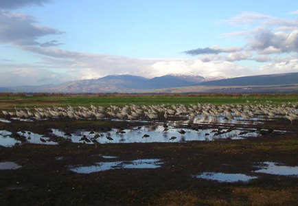 Hundreds of migrating birds resting in a wetland landscape with cloud filled blue sky in the background.