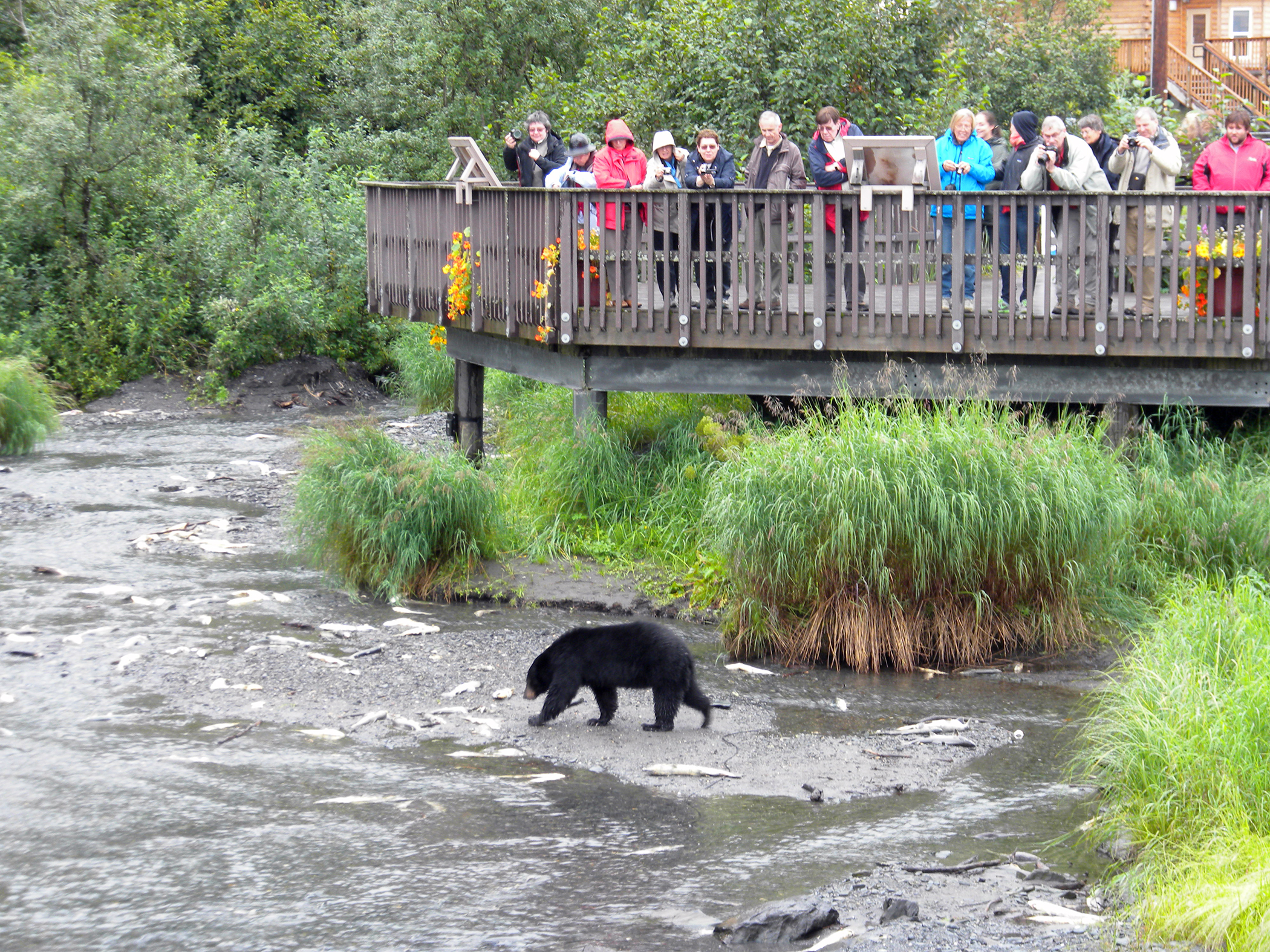 Visitors at the Crooked Creek Information Center in Valdez, Alaska can see the spawning salmon from the viewing platform and the bears that feed on them. (USFS Photo by Jeannie Kirkland)