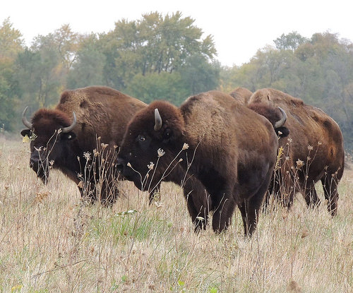 A photo of Bison on the Midewin National Tallgrass Prairie. Photo credit: .