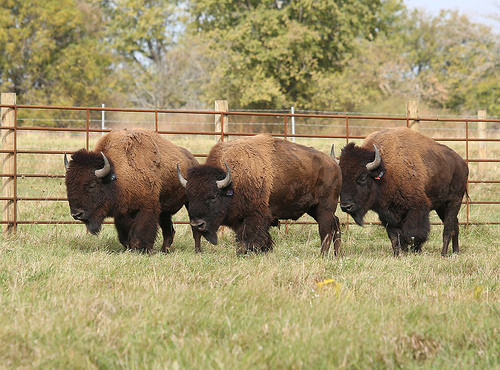 A photo of Bison arrive on the Midewin National Tallgrass Prairie.