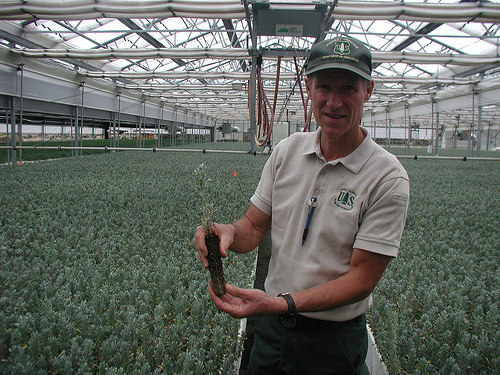 A photo of John Sloan, the assistant nursery manager at the Lucky Peak Nursery, shows off a one-year old container-grown sagebrush seedling