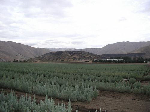 A photo of One-year old sagebrush seedlings grown in production fields.