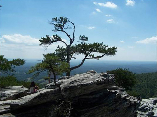 A photo of a Table mountain pine.