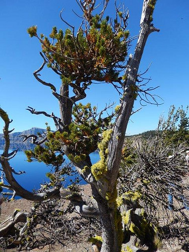 A photo of Whitebark pine at Crater Lake National Park.