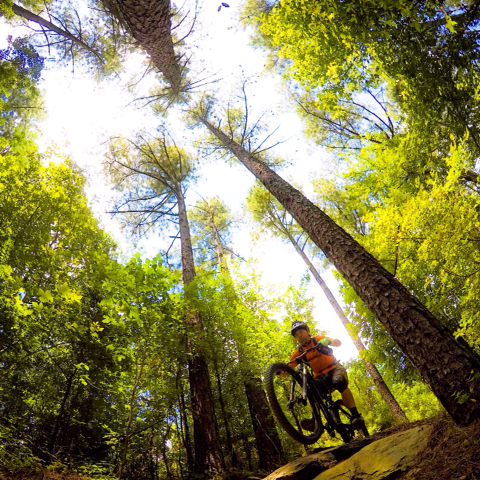 A picture of a mountain biker heading over a forested trail.