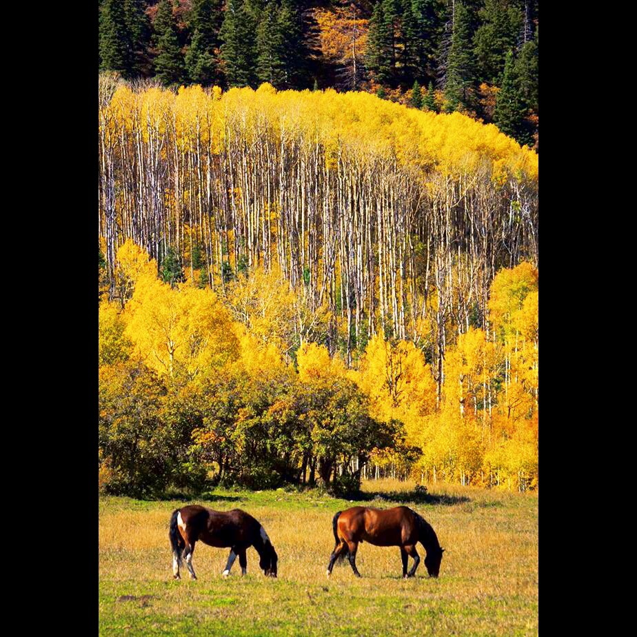 A group of horses in the foreground with a stand of aspen trees in the background.