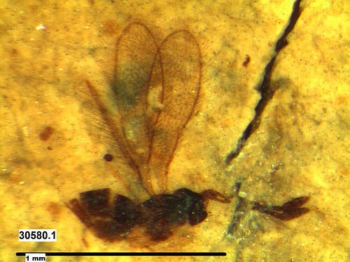 A photo of a fossil wasp from Kishenehn Formation.