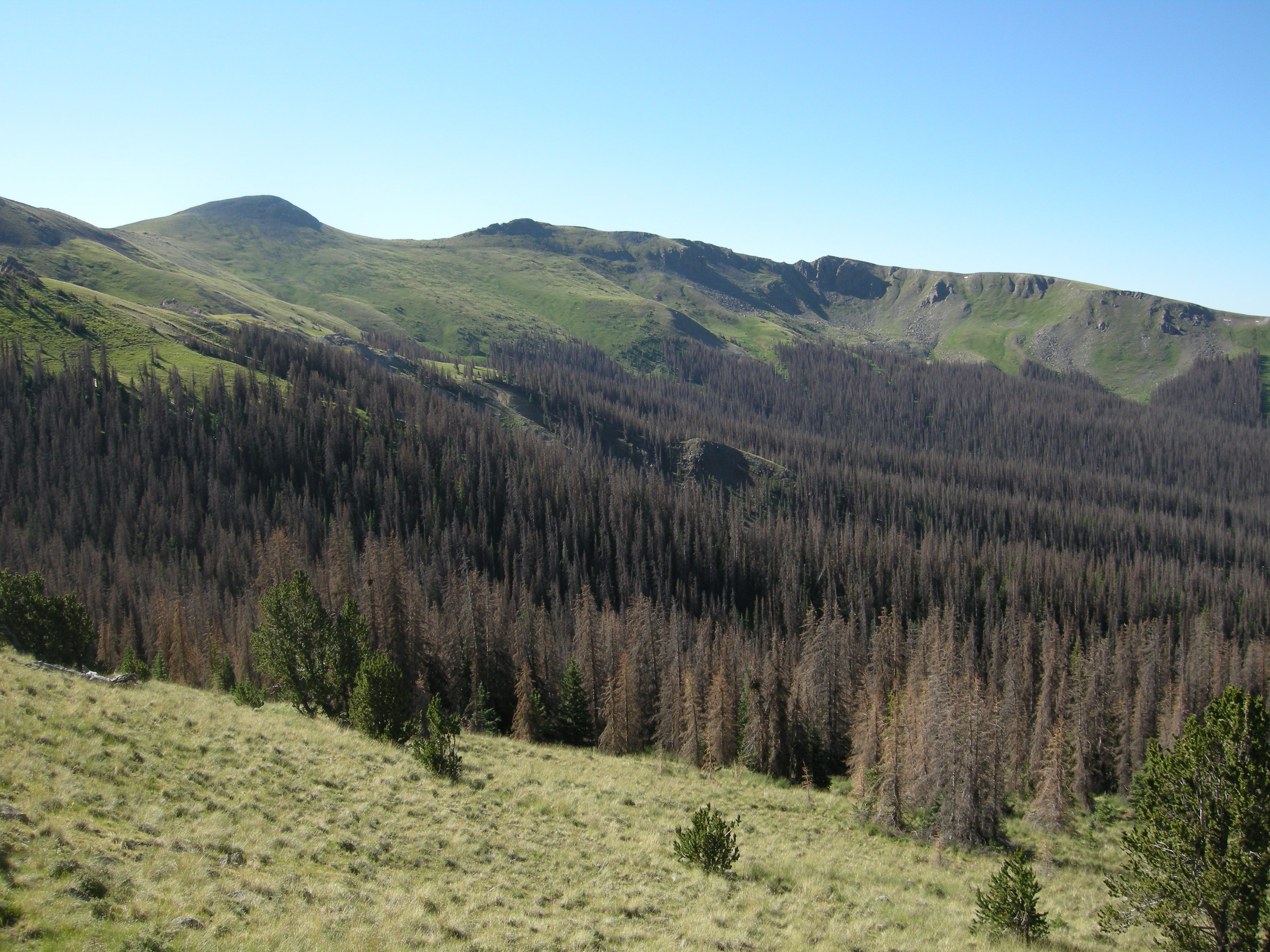 Spruce-fir affected forests from spruce bark beetle in Canada Lynx habitat, Rio Grande National Forest, CO