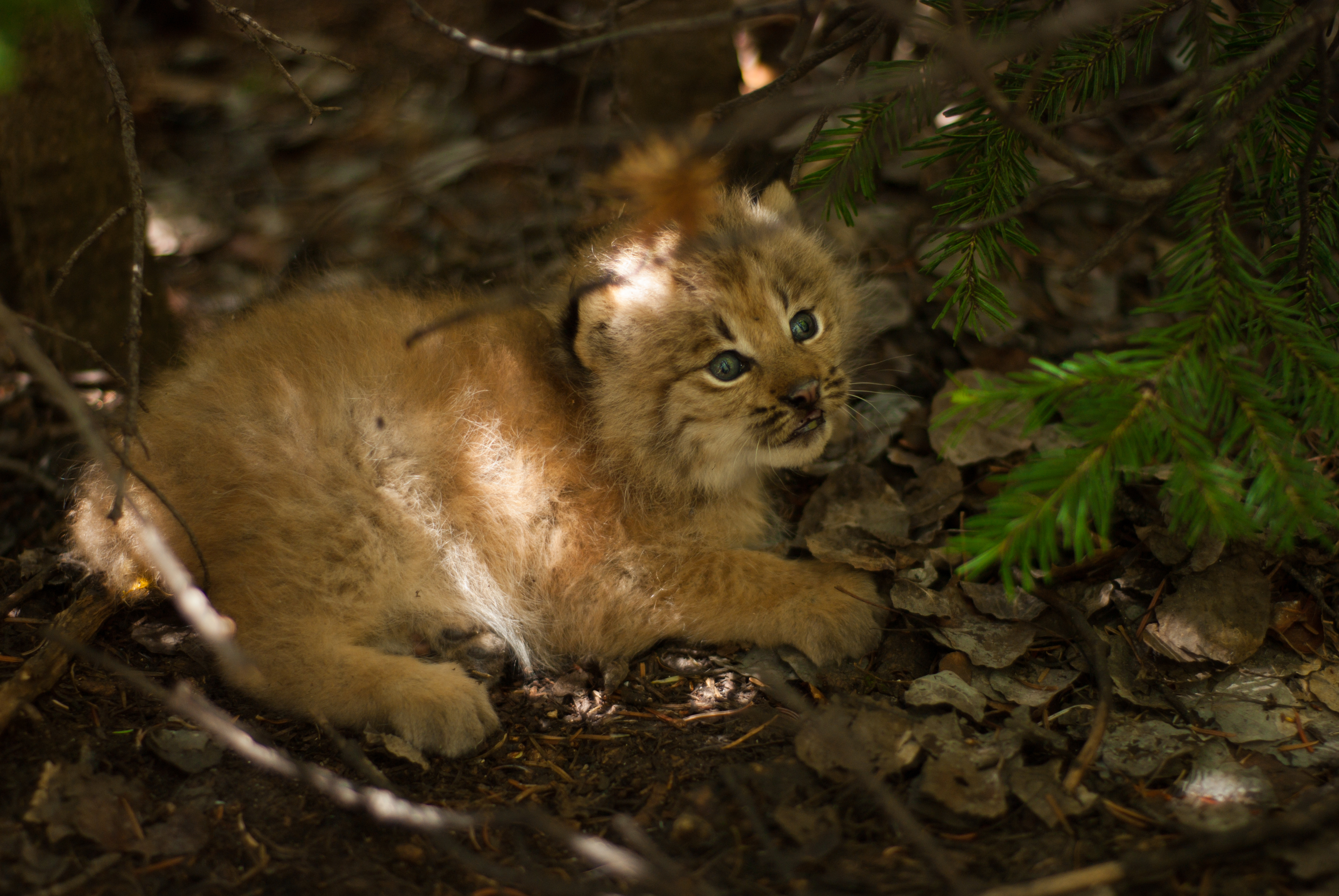 Canada lynx kitten born of a female that denned in spruce beetle impacted forests in 2015, Rio Grande National Forest, CO